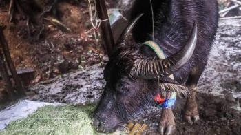 陽明山水牛再傳2死  1隻疑急凍慘死