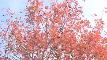 獨/賞楓不用到奧萬大!南94線楓葉紅了 白河私房景點