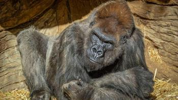 美國猿類首確診!動物園2大猩猩中鏢 疑被無症狀員工傳染