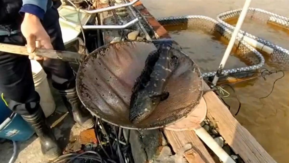 寒流連續來襲!宜蘭石斑魚凍死 養殖戶損失百萬