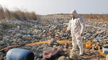 大安溪河床發現豬屍 排除非洲豬瘟焚燒掩埋