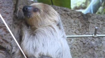 想蹺家?動物園樹懶爬上步道 遊客驚呼:可愛