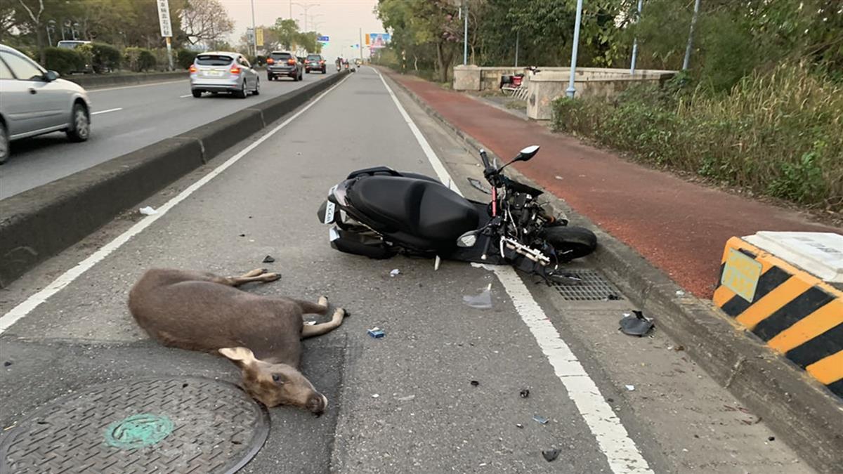 水鹿突從路邊竄出 汽機車閃避不及衝撞慘死