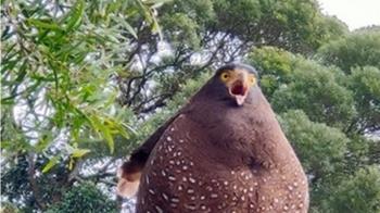 爬山撞見「超肥大冠鷲」不怕人  網笑翻:阿嬤養的?
