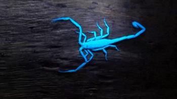 神奇! 紐西蘭攝影師旗津找尋「會發藍光」蠍子