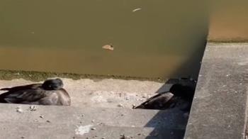 中正大學天鵝湖禽流感 29隻鴨鵝已撲殺8隻在逃