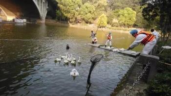 中正大學天鵝湖爆禽流感 全面撲殺29隻鴨鵝...有8隻在逃
