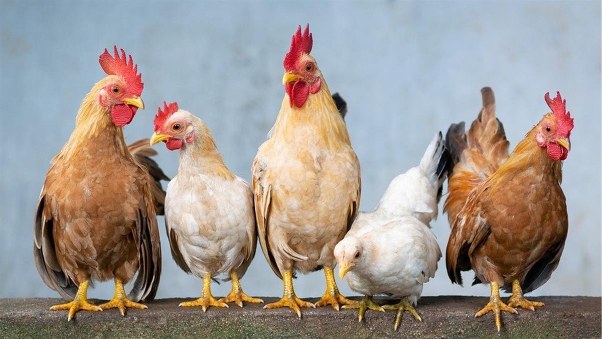 九如鄉土雞場禽流感 撲殺7543隻黑羽雞