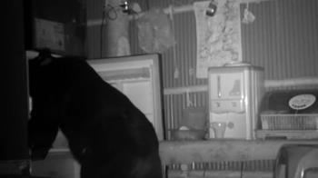 711黑熊又搗蛋了 闖農舍偷吃食物還把雞叼走