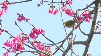 看櫻花收費!草坪頭櫻花本周六至228連假 1人50元