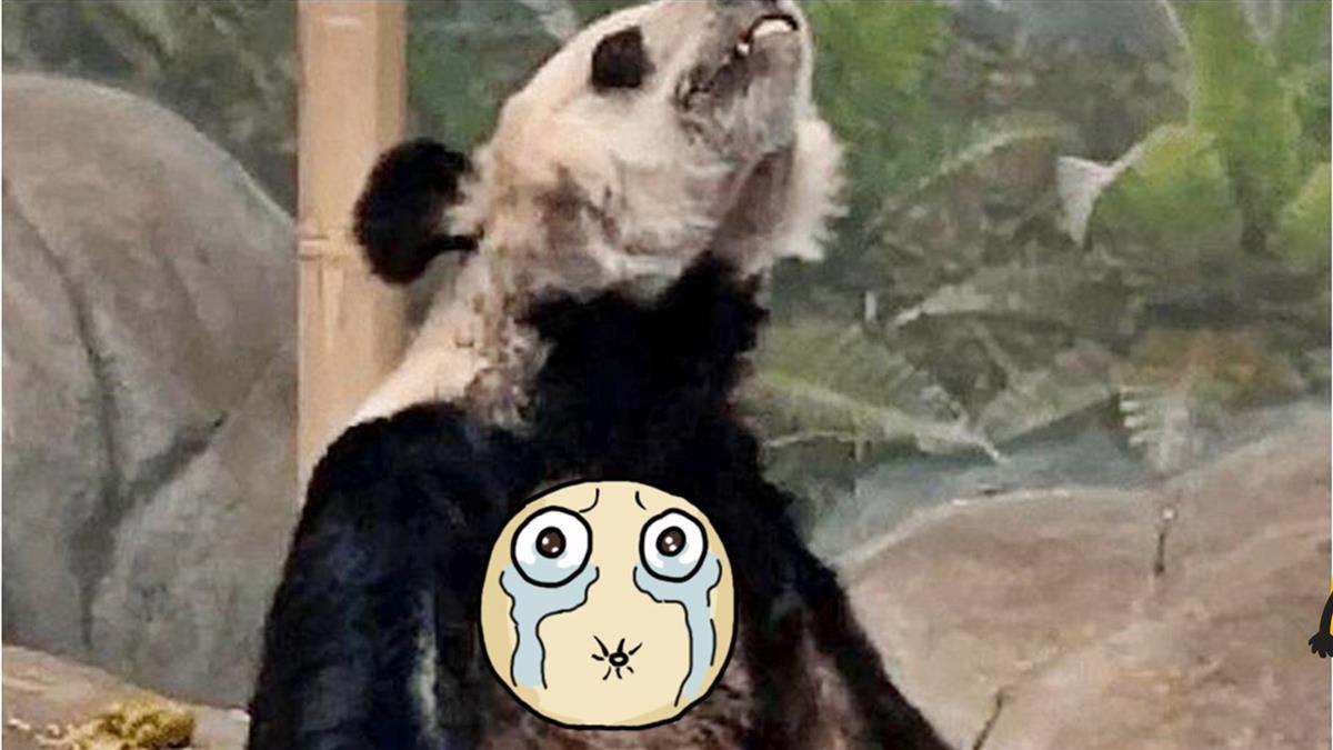 熊貓暴瘦成皮包骨、精神異常 美動物園遭陸網怒控虐待