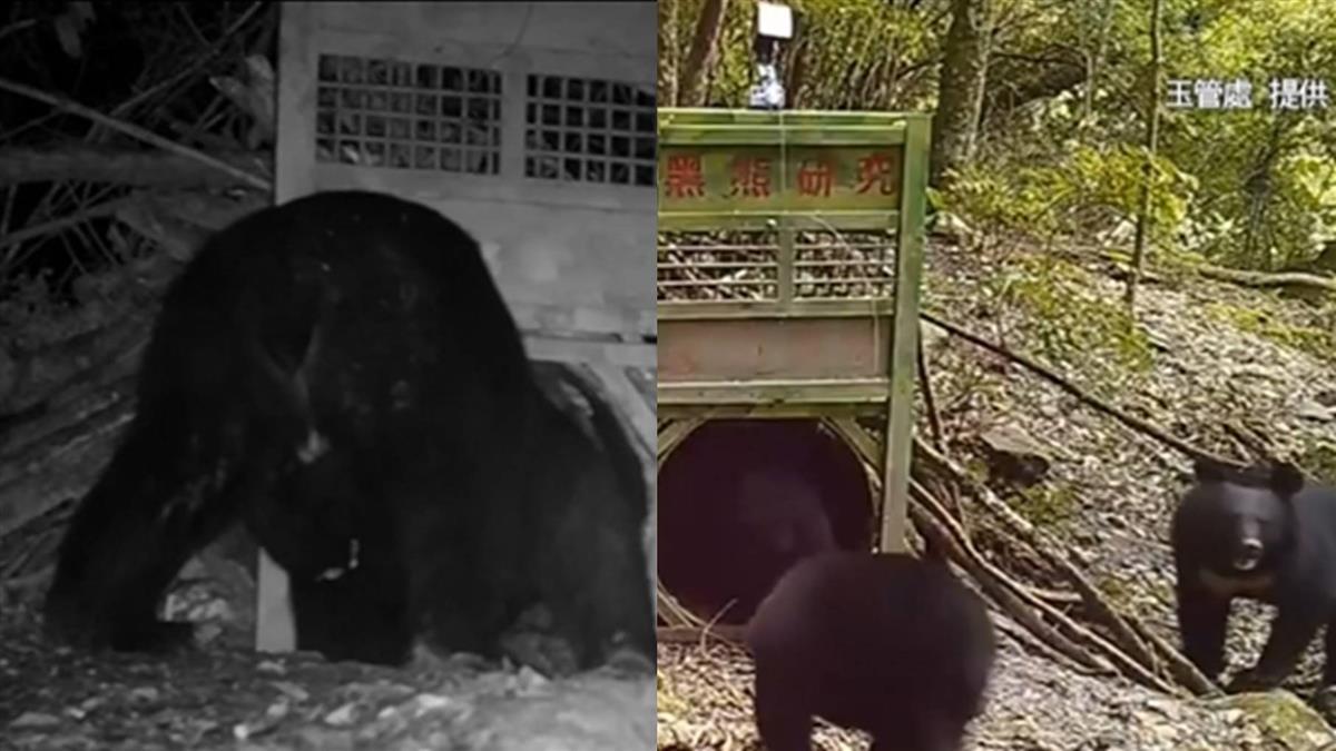 驚喜!一家三口總動員 台灣黑熊玉山塔塔加頻露臉