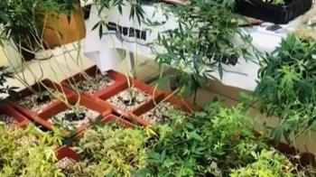 租透天種大麻想趁年前賺一筆 警攻堅起出174株