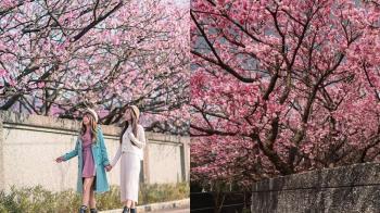 士林平菁街櫻花粉嫩盛開 超美花海一起來當網美