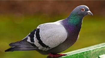 美國鴿狂飛1.2萬km累趴!澳洲男秒收編 牠隔天遭政府撲殺