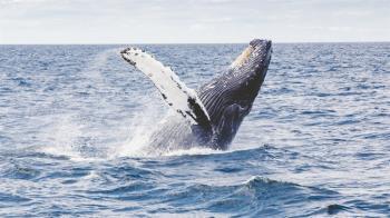 影/鯨魚一口吞潛水員「半身在外」 愣3秒發現吃錯吐掉