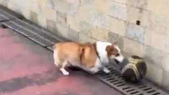 柯基界Kobe!狗狗用鼻子運球「神準投籃」 網驚:能進NBA