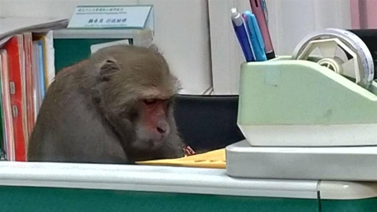 中山大學聘獼猴上班! 6000人朝聖:負責審論文?