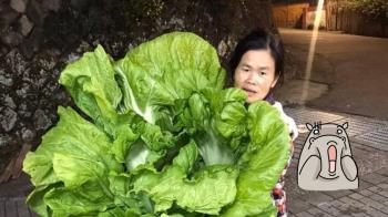阿嬤種的長年菜尺寸超狂 上萬人驚呆:可報金氏世界紀錄