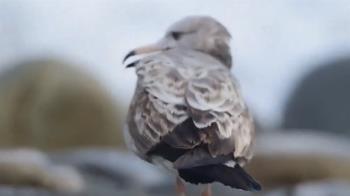 黑尾鷗遭釣魚線纏嘴 鳥友痛心恐「活活餓死」