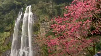 瀑布、櫻花同框期間限定 烏來瀑布平台成打卡點