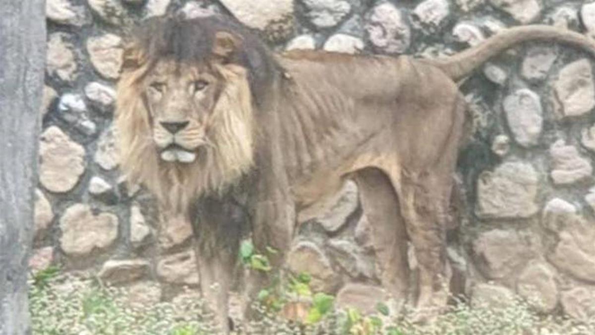 獅子照片瘦如柴 壽山動物園:遺傳疾病導致