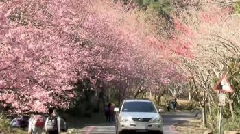 武陵櫻花大爆發!全區僅開6成 預估下周「全盛開」