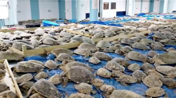 美國德州大停電:4700隻凍僵海龜被救起,入住當地庇護所