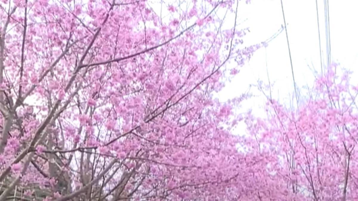 瘋賞櫻!宜蘭絕美櫻花公路 新竹山上、河濱櫻花盛開