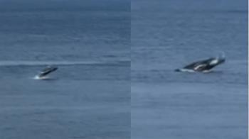 「鯨」喜!稀有大翅鯨現蹤蘭嶼 當地人:豐收好兆頭