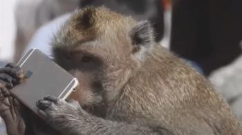 手裡不是香蕉!動物園猴王「玩手機」 遊客驚訝猛拍