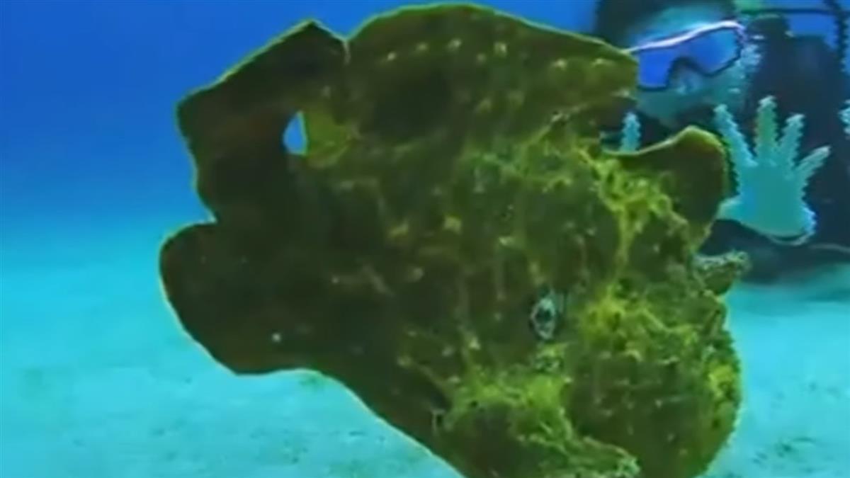 海草會跳動?原來是會走路的魚「躄魚」現蹤綠島