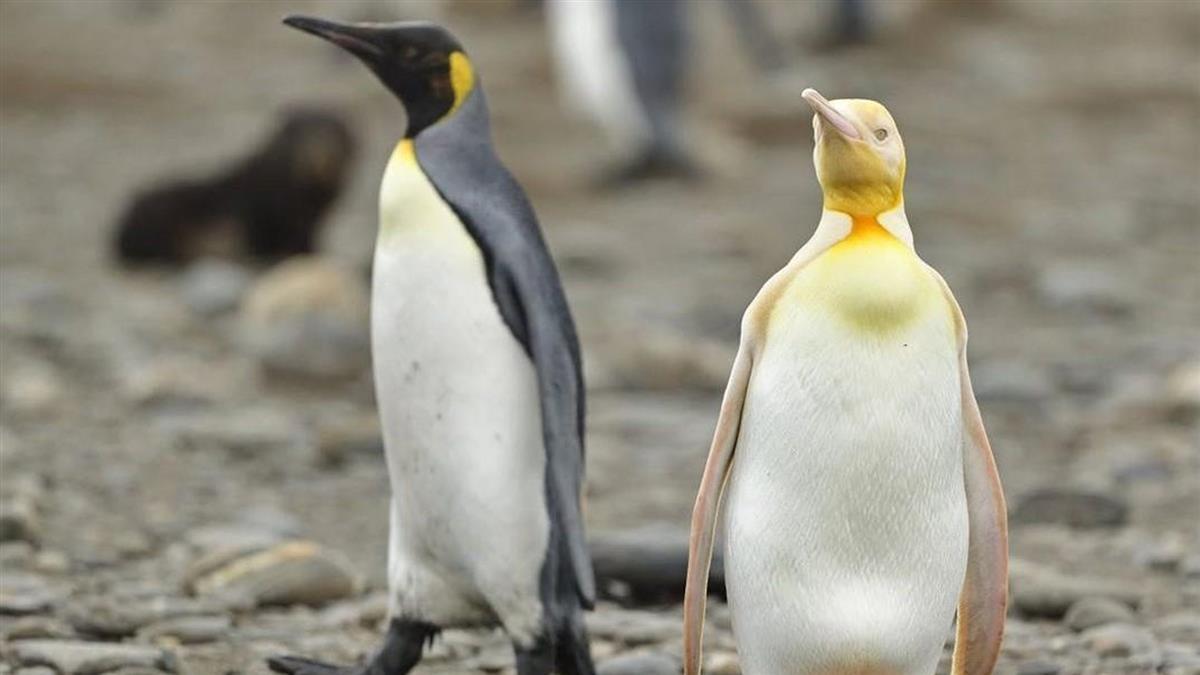「黃色國王企鵝」現蹤南極 攝影師嗨喊「像中樂透」
