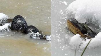 美國嚴寒急凍!湖面驚見詭異黑石 近看全是「鱷魚鼻子」