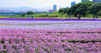 最美紫爆!河濱13萬盆粉紫漸層花海 浪漫迎接春天