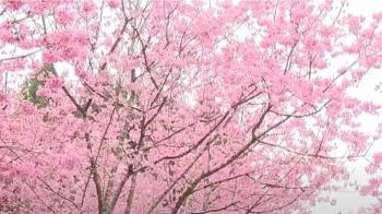 日月潭櫻花 全台櫻花祭發源地邁入21年