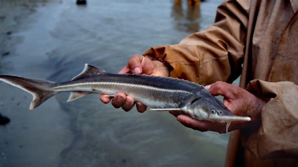 物種滅絶:淡水魚物種瀕危--英國歐洲現狀堪憂與中國長江禁漁「持久戰」