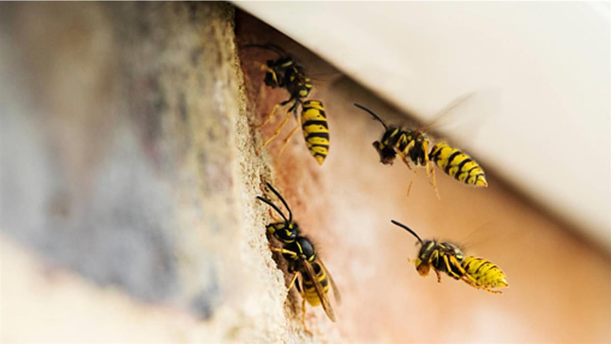突然想吃蜂蛹!情侶衝鄉下「亂捅馬蜂窩」解饞 衰男經過被螫死