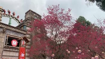 九族文化村湧入1.2萬賞櫻人潮 中午緊急宣布暫停入園
