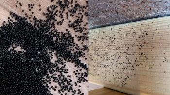 房間突冒「千顆黑珍珠」專家一看嚇壞:快清掉