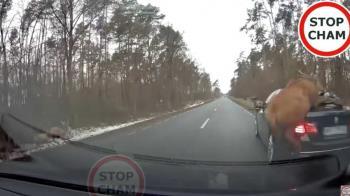群鹿飛越BMW「起跳過早」慘摔 腳滑爬起秒落跑