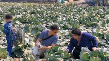 採收不敷成本!農民開放自採 每顆高麗菜10元