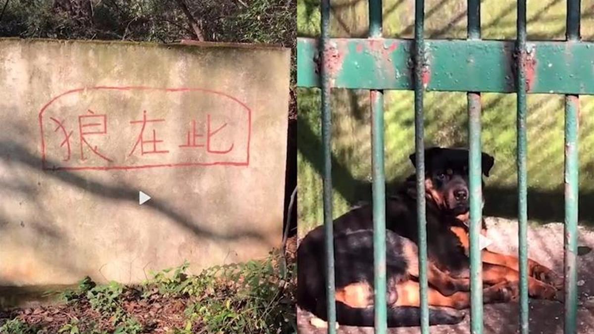 「狗冒充狼」躺籠內遊客全傻眼 動物園:狼太老死了