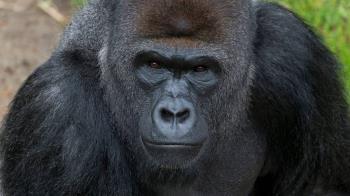 新冠肺炎動物用疫苗 美動物園猩猩首批實驗接種