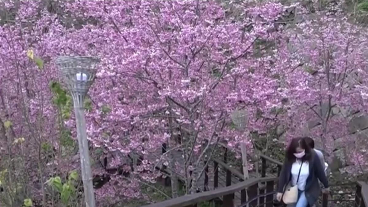 偽日本賞櫻!嘉義縣石棹「櫻之道」 白天晚上都美麗