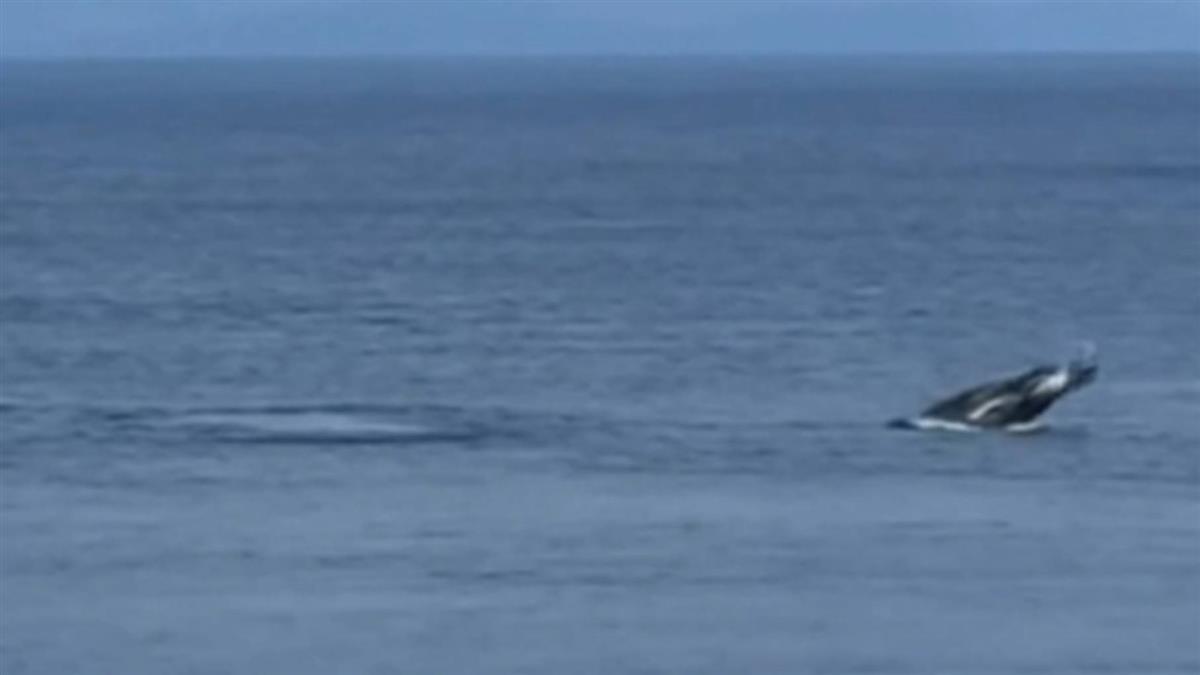 娛樂船直播追逐保育動物大翅鯨 恐遭罰最高30萬