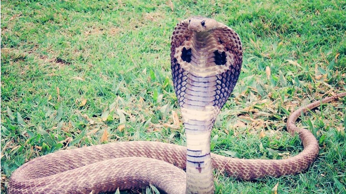 家中竄眼鏡蛇!基隆男淋熱水+竹竿打死牠 慘被判刑