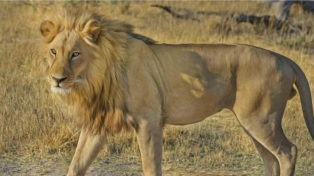嚮導追蹤獵豹才走20M 慘遭「2雄獅撕咬拖行」活活吞下肚