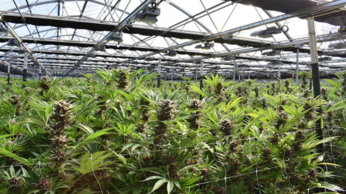 種大麻「非販毒」5年減刑變1年 政院最快明通過修法草案