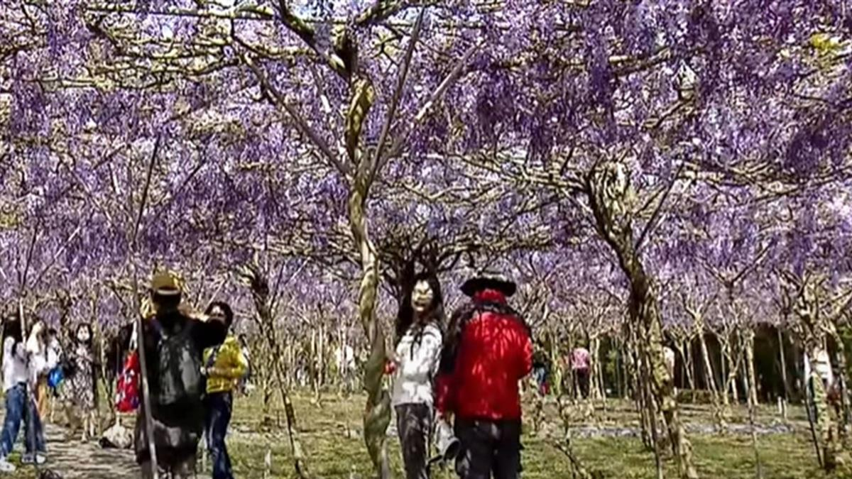 全台最大淡水紫藤花園提早開 紫色花海極度浪漫